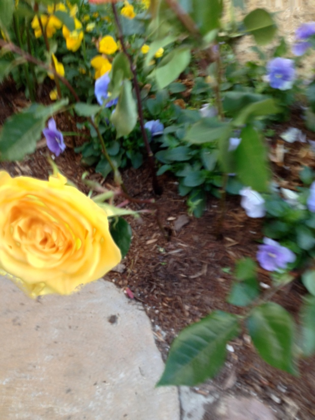 Another beautiful yellow Taylor rose- from a memorial service we recently attended.